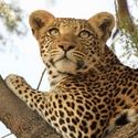 Big_jambo_safari_club_-_luipaard